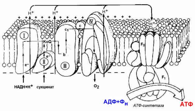 цепи переноса электронов