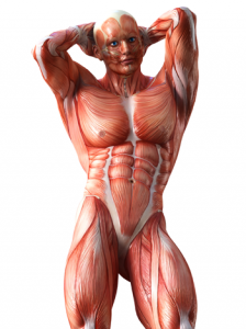 anatomy-for-massagist-2.png